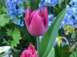 Paarse tulp & blauwe hyacint