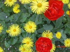 Gele lentezonnebloem met dubbele rode tulp