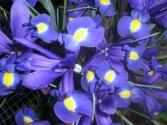 Lente Iris