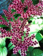 Rodgersia herfst kleur